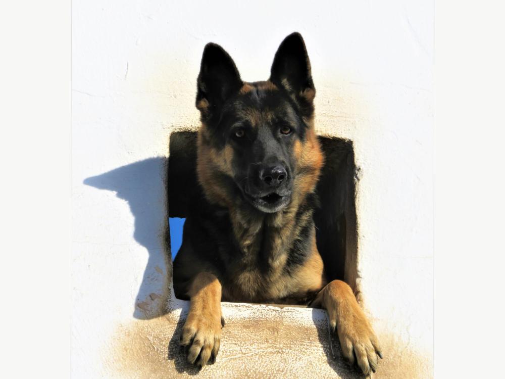 deutscher schäferhund schaut aus dem fenster